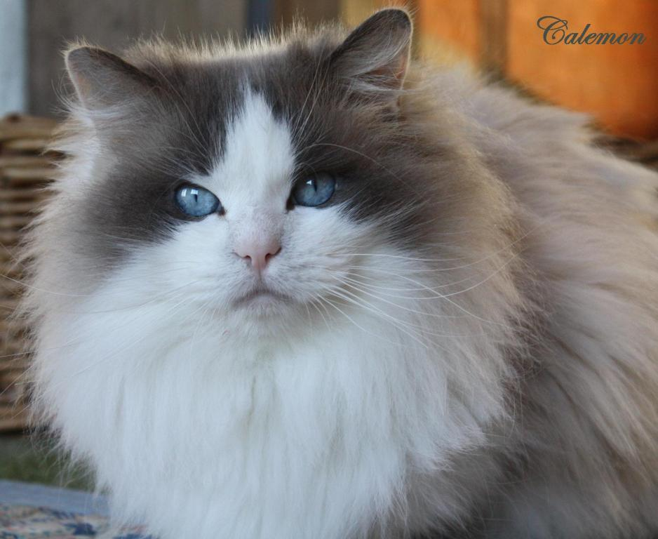 Calemon ragdoll male blue bicolor