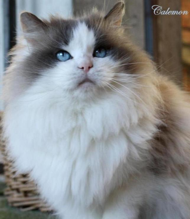 ragdoll cat male blue bicolor