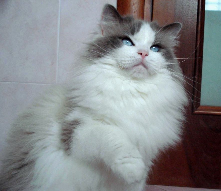 calemon ragdoll maschio male blue bicolor