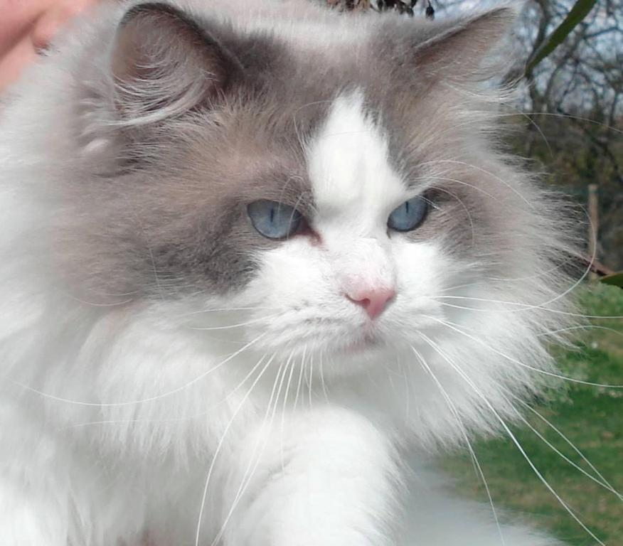 Calemon Blue Leon maschio male ragdoll blue bicolor